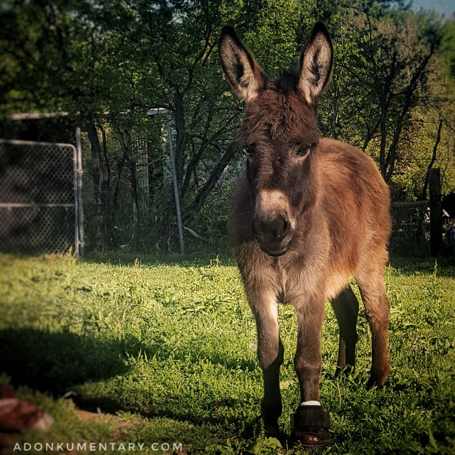 Tink the mini donkey
